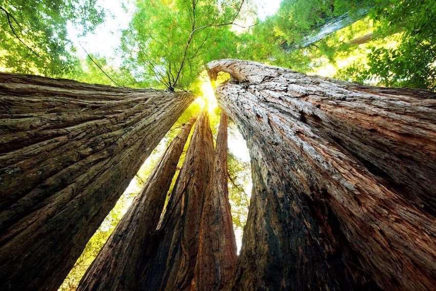 sequoia gigante california